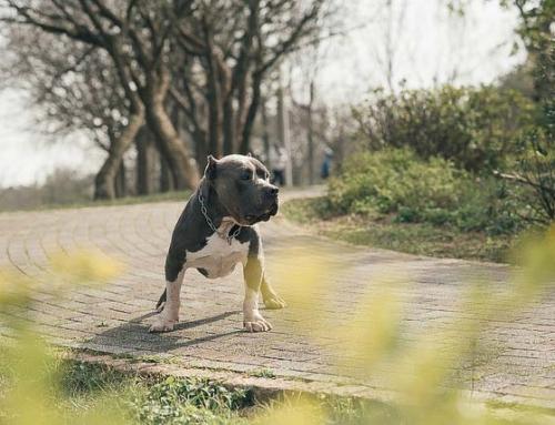 美國惡霸犬英系斯塔福(壯壯)寵物寫真寫真